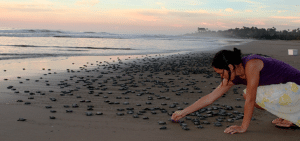 Woman on the beach with 100s' of baby sea turtles