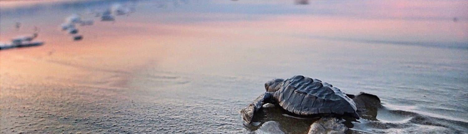 Baby Turtle release in Riviera Nayarit Mexico - image of baby turtle heading into the water