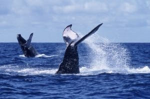 Whale watching in Riviera Nayarit Mexico - image of 2 whales surfacing