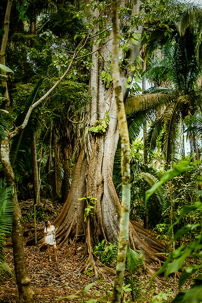 Rainforest tree near San Pancho Riviera Nayarit MX